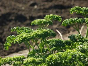 parsley (2).jpg