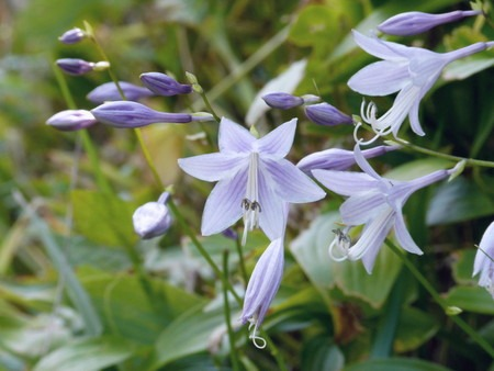 plantain lily (2).jpg