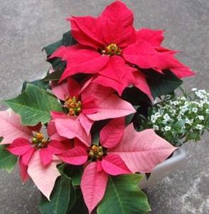 クリスマス 寄せ植えのコツ