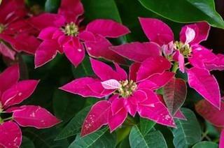 ポインセチアの栽培|越冬後 春からの育て方は?