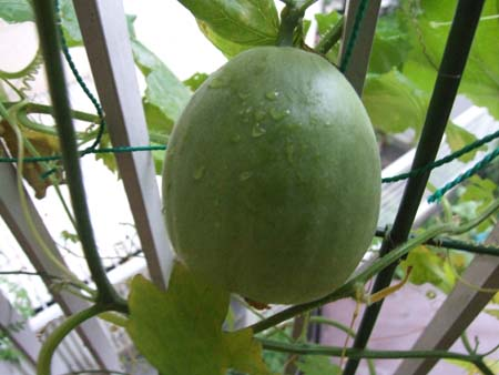 prince melon (10).JPG