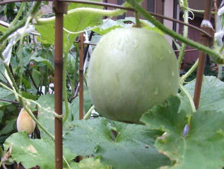 prince melon (11).JPG