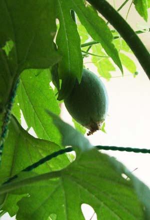 prince melon (3).JPG