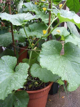 prince melon (9).JPG