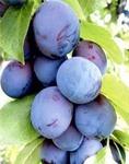 プルーンの収穫 時期