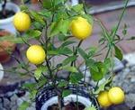 レモンの品種