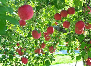 リンゴの栽培3|庭植えの仕立て方、剪定のコツ