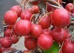 ヒメリンゴの育て方