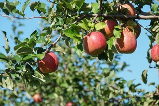 リンゴの栽培2|庭植えの環境、品種選びと植え付けのコツ