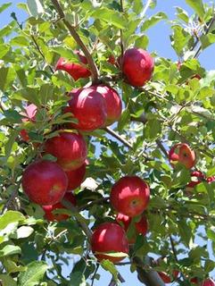 リンゴの栽培1|収穫量アップと育て方のポイント