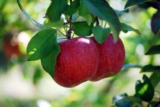 リンゴの栽培4|鉢植えでのおいしい育て方のコツ!