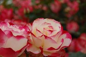 バラの育て方 8月|HT、フロリバンダ 鉢植え