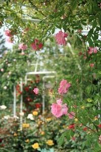 つるバラ 四季の育て方