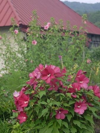 rose mallow.jpg