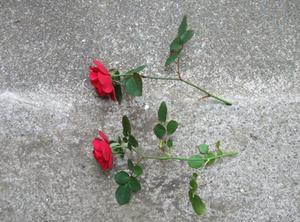 バラ 挿し木の方法 画像つき