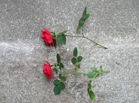 rose sasiki (1).JPG
