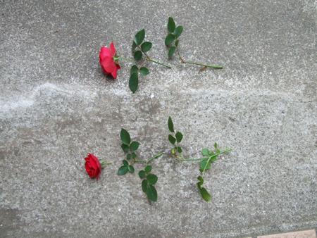 rose sasiki (2).JPG