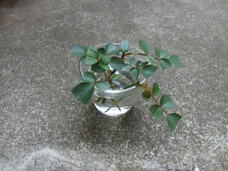 rose sasiki (4).JPG