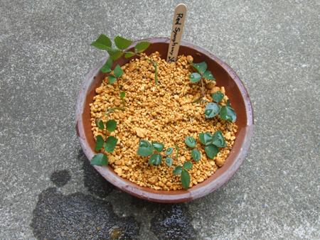 rose sasiki (6).JPG