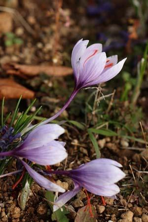 saffron crocus (5).jpg