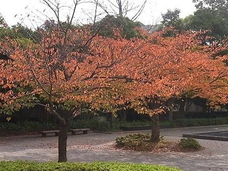 sakura-koyo.jpg
