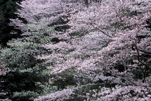 サクラの木の育て方
