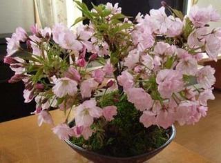 サクラの育て方 栽培方法 鉢植えや盆栽で