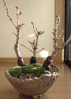 サクラの育て方|鉢植えや盆栽で