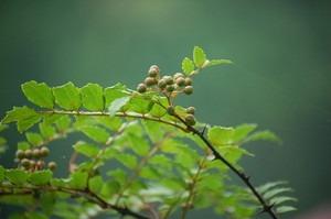 山椒 挿し木時期と方法