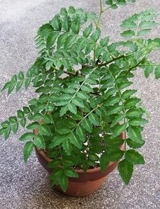 山椒 鉢植えの育て方