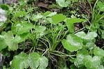 サラダワサビの栽培