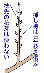 sasikiC.jpg