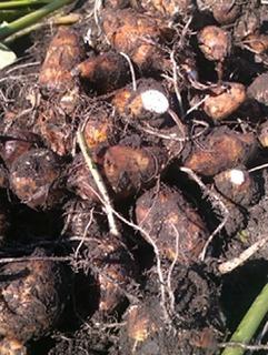 サトイモ 元肥と追肥のコツ