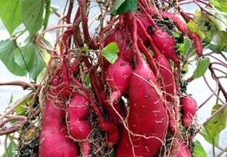 サツマイモの良い苗の選び方と植え方は?