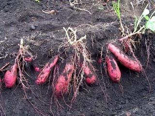10月の家庭菜園作業 葉ものと豆類のタネまき栽培