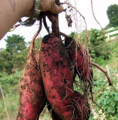 サツマイモ プランターの育て方