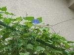 ヘブンリーブルー(西洋朝顔)開花