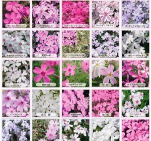 芝桜専門店|芝桜のことなら、おまかせ通販