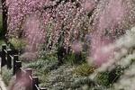 しだれ(枝垂れ) 梅の育て方と剪定