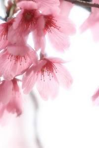 サクラ 花が咲かない理由は?