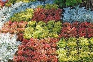 シルバーリーフ 寄せ植え花壇向き一覧(画像)