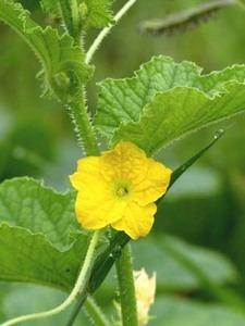 シロウリの育て方|生育旺盛な野菜、整枝を早めに