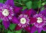 クレマチス 紫子丸(ししまる) 新種が人気♪