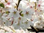 サクラ(桜)の挿し木 方法