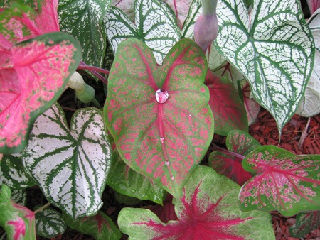 stockvault-caladium-leaves117755.jpg