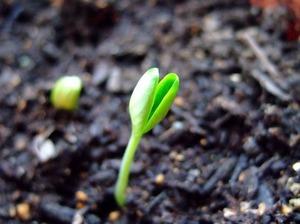 スイカ栽培方法