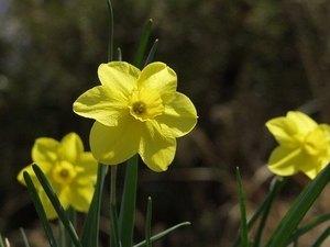 スイセン 花が咲かない理由は?