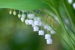 スズランの育て方、栽培方法