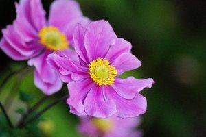 シュウメイギクの花が咲かない理由
