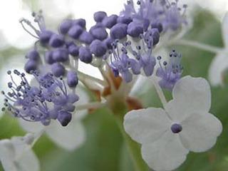 アジサイの育て方 7月−1.花後の剪定と手入れ